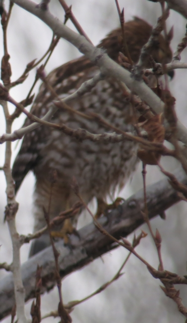Red-shouldered Hawk: 1st record in Yakima County -- December 30, 2012.