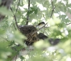 American Redstart at nest in Maple at Debie Brown house 2014-09-06 ©Kevin S Lucas