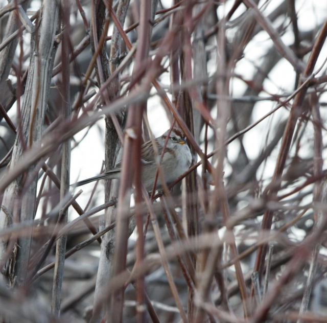 American Tree Sparrow 2015-01-20 ©Kevin S. Lucas