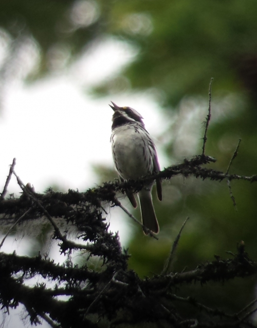 Black-throated Gray Warbler in Mt. Adams Recreation Area