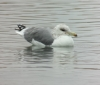 California Gull at Costco pond 2014-01-25 ©Kevin S. Lucas
