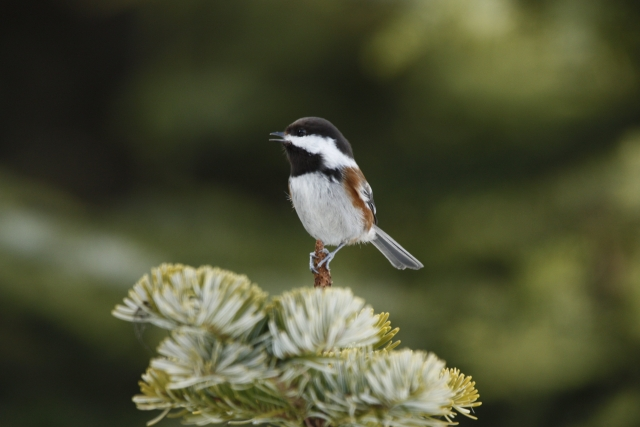Chestnut-backed Chickadee  2014-04-12 ©Kevin S. Lucas