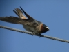 Cliff Swallow at Lateral C 22apr2013 ©Kevin S Lucas