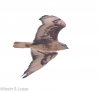 Ferruginous Hawk -- December in Yakima County, Washington