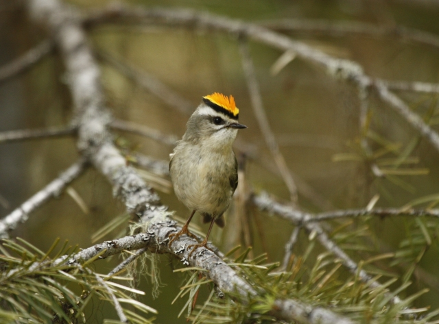 Golden-crowned Kinglet 2014-05-03 ©Kevin S. Lucas