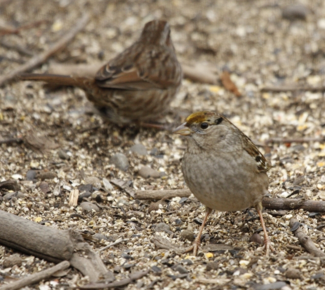 Golden-crowned Sparrow at Yakima Arboretum sparrow patch 2014-01-22 ©Kevin S Lucas