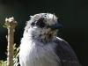 Gray Jay at Sheep Lake 2014-09-12 ©Kevin S. Lucas