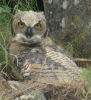 Great Horned Owl fledgling with red spot on bill