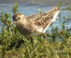 Least Sandpiper at Wenas Lake 2014-07-01 ©Kevin S. Lucas