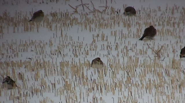 Lapland Longspur (lower left) with HOLA 2014-02-09 ©Kevin S. Lucas