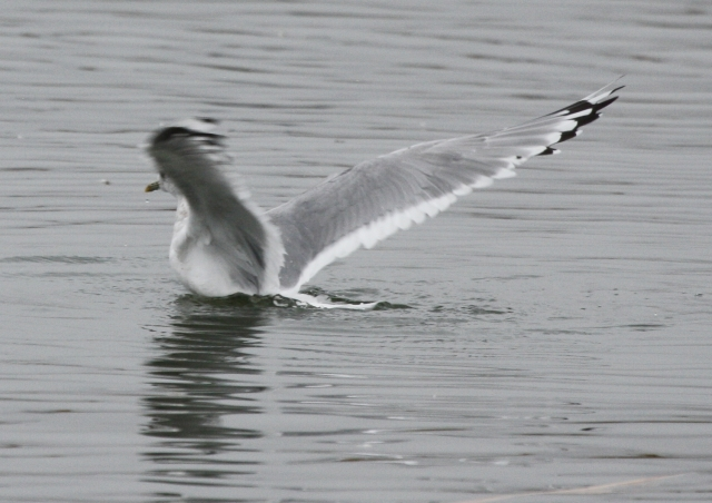 Mew Gull at Costco pond 2014-01-23  ©Kevin S. Lucas