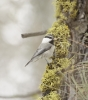 Mountain Chickadee at Wenas 2014-02-28 ©Kevin S. Lucas