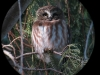 Northern Saw-whet Owl 30jan2013 at Reservation Memorial Park cemetery ©Kevin S Lucas