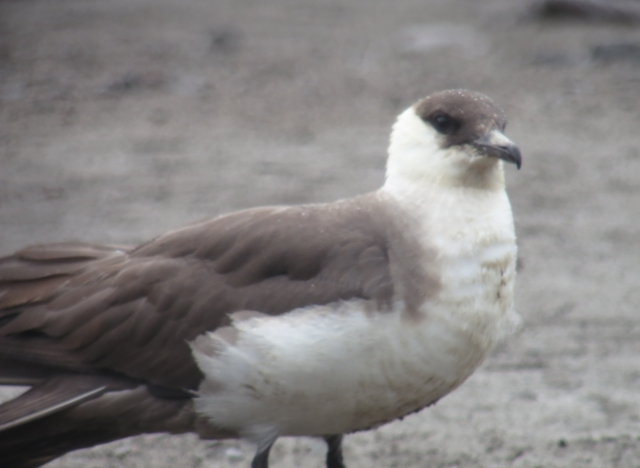 Parasitic Jaeger at Rimrock Lake, Sept. 28, 2013 ©Kevin S. Lucas