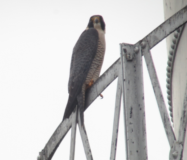 Peregrine Falcon view 3 2014-01-18 ©Kevin S Lucas