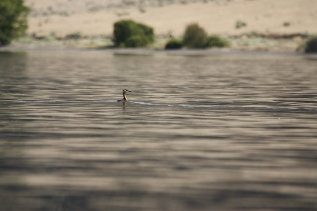 Red-necked Grebe   Seen without trespassing - from kayak on Yakima County side of Priest Rapids Lake