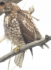 Red-tailed Hawk - guardian of Poppoff. January 15