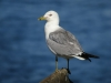 Ring-billed Gull 24June2012 Potholes State Park ©Kevin S Lucas