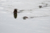 River Otters March 14, 2013 Yakima River near Satus Toppenish NWR ©Kevin S Lucas