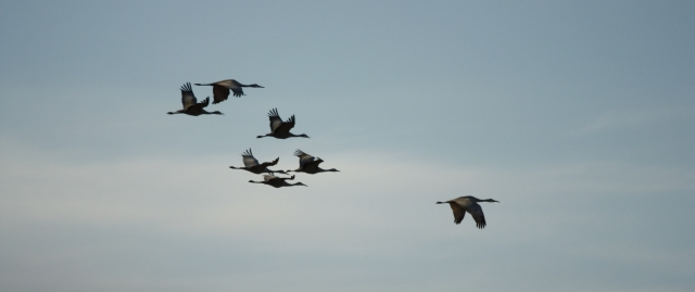 Seven Sandhill Cranes aSinging - Toppenish NWR 2014-03-07 ©Kevin S. Lucas