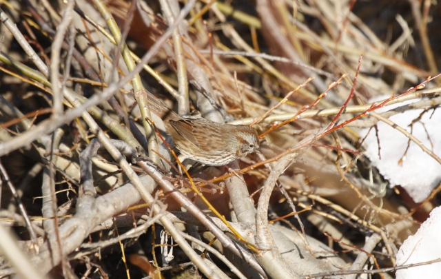 Song Sparrow  2014-04-12 ©Kevin S. Lucas