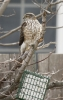 Sharp-shinned Hawk feeding at suet cage 2014-02-25 ©Kevin S. Lucas