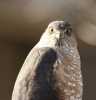 Sharp-shinned Hawk eye colors 2013-11-28 ©Kevin S. Lucas