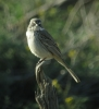 Sage Sparrow on Tule Road   March 22nd, 2013 ©Kevin S. Lucas