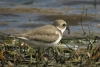 Semipalmated Plover at Wenas Lake on September 5, 2013  © Kevin S. Lucas