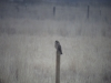Short-eared Owl view 1 2014-01-18 ©Kevin S Lucas