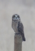 Short-eared Owl view 2 2014-01-18 ©Kevin S Lucas