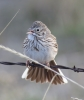 Barbie the Vesper Sparrow 2014-03-22 ©Kevin S. Lucas