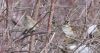 White-throated Sparrow at Poppoff 2014-02-11 ©Kevin S. Lucas