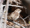 White-throated Sparrow at Myron Lake on March 25th, 2013   ©Kevin S. Lucas