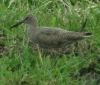 Willet at Toppenish NWR on April 27, 2013 ©Kevin S. Lucas