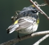 Yellow-rumped Warbler - Myrtle's   found by Mary Giovanini along Tieton River April 14, 2013. ©Kevin S. Lucas